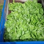 Leitís - lettuce.